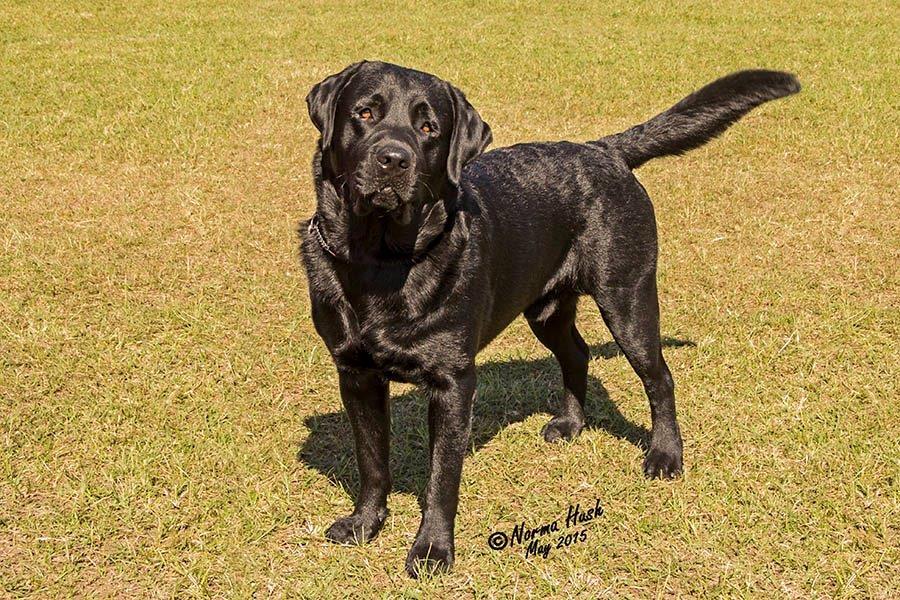 Labrador_don_1505_2981