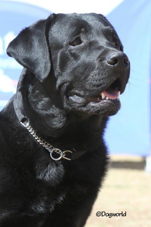 Labrador_don__2853 copy
