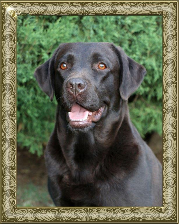 Female Labrador Chocolate Girl Freya
